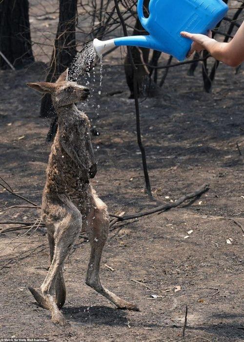 Filho de canguru vítima de incêndio