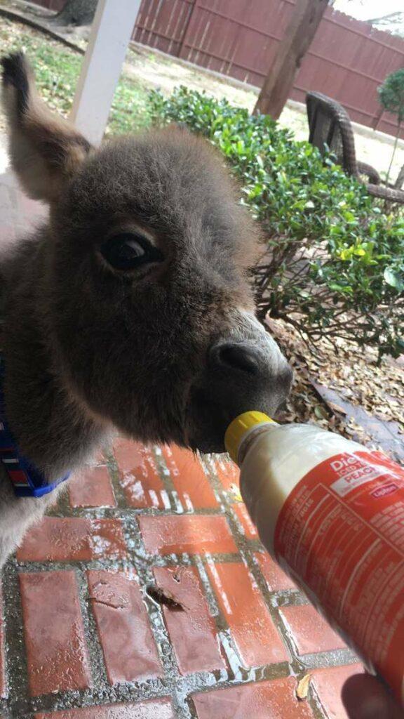 Mulher salva vida pequeno burro